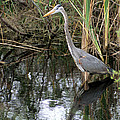 Wading Great Blue Heron by Larry Allan