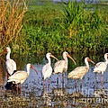 Wading Ibises by Al Powell Photography USA