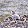 Waiting Gull by Michael Frank Jr