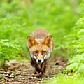 Walking Fox by Gary Chalker