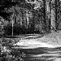 Walking In The Springtime Woods In Black And White by Suzanne Gaff