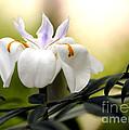 Walking Iris Flower by Nancy Greenland
