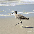 Walking Willet by Al Powell Photography USA