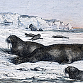 Walruses On Ice Field by Granger