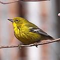 Warbler - Pine Warbler - Oh So Yellow by Travis Truelove