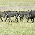 Warthogs In Masai by Pravine Chester