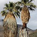 Washingtonia Filifera Fan Palms by Bob Gibbons