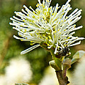 Wasp On Fothergilla 1 by Douglas Barnett