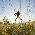 Wasp Spider Argiope Bruennichi In Web by Konrad Wothe