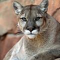 Watching Cougar by John Van Decker