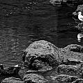 Water Birds by Leslie Lovell