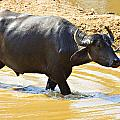 Water Buffalo by Douglas Barnard
