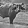 Water Buffalo In Black And White by Douglas Barnard