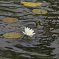 Water Circles On The Lily Pond by Douglas Barnard