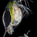 Water Flea Giving Birth by Laguna Design