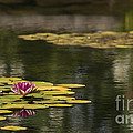 Water Lilies And Lily Pads by Pam  Holdsworth