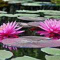Water Lilies by Bill Cannon