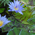 Water Lilies by Melody Jones
