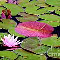 Water Lilies by Susan Cole Kelly
