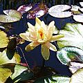 Water Lilly by Caroline Lomeli