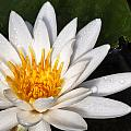 Water Lilly by Javier Barras