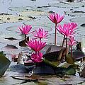 Water Lilly by Priya Abraham
