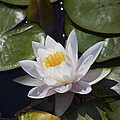 Water Lily 1 by Michel DesRoches
