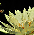 water lily 3 Yellow Water Lily with Bee by Terri Winkler
