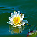 Water Lily 4 by Julie Palencia