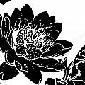 Water Lily Black And White by Stephanie Haertling