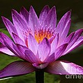 Water Lily Blossom by Sabrina L Ryan