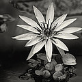 Water-lily  by Diane Dugas