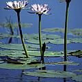 Water Lily Flowers Bloom From A Wetland by Jason Edwards