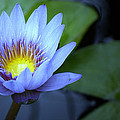 Water Lily Glow by Rachel Katic