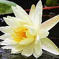 Water Lily In White by Elizabeth Budd