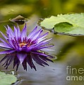 Water Lily Kissing The Water by Sabrina L Ryan