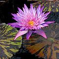 Water Lily Magic by M c Sturman