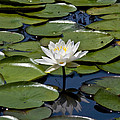 Water Lily by Michael Friedman