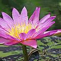 Water Lily On A Sunny Day by Becky Lodes