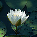 Water Lily Reaching by Jessica Lowell