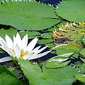 Water Lily by Robin Becker