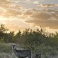 Waterbuck Kobus Ellipsiprymnus Mother by Matthias Breiter