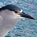 Watercolored Black-crowned Night-heron by Tony and Kristi Middleton