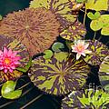 Waterlilies In A Garden Pool by Ted Kinsman