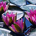 Waterlilies In Bright Sunlight by Byron Varvarigos