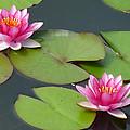 Waterlillies by Tim Nyberg