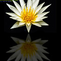 Waterlily And Reflection by Susan Candelario