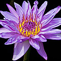 Waterlily by David Freuthal