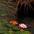 Waterlily In The Rain 2 by Cj Carroll