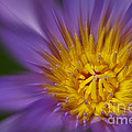 Waterlily Zoom by Susan Candelario